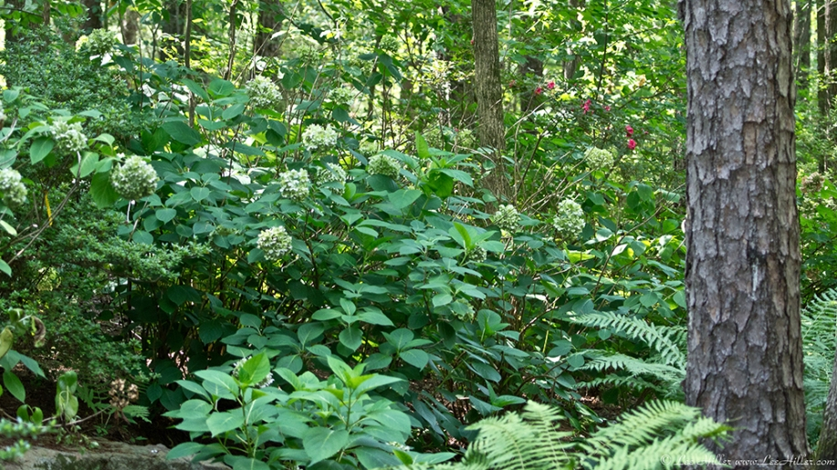 Garvan Woodland Gardens Arkansas Hydrangea