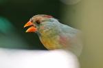 Garvan Woodland Gardens Arkansas Juvenile Female Cardinal
