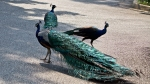 Garvan Woodland Gardens Arkansas Peacock