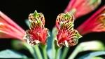 Garvan Woodland Gardens Arkansas Parrot Lily