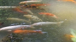 Garvan Woodland Gardens Arkansas Pond Large Koi