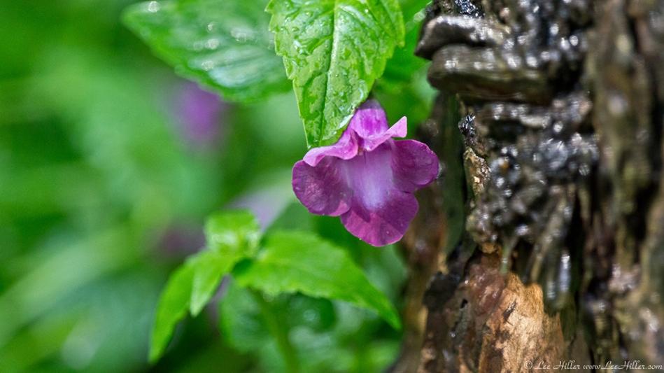 Garvan Woodland Gardens Arkansas Petunia?