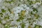 Garvan Woodland Gardens Arkansas White Crepe Myrtle