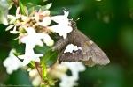 HSNP Arlington Lawn Silver Spotted Skipper Butterfly