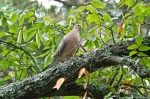 HSNP Carriage Road Juvenile Mourning Dove