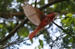 HSNP Carriage Road Summer Tanager