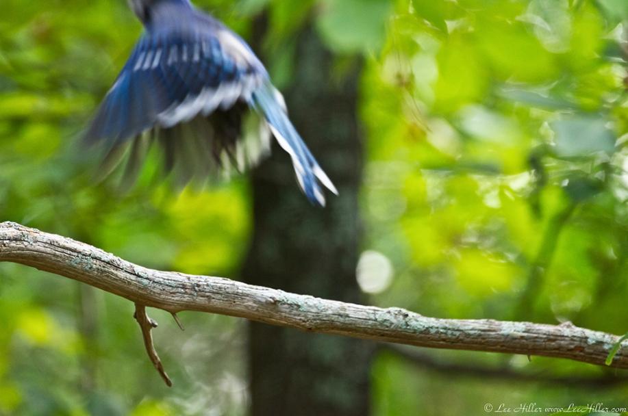 HSNP Dead Chief Trail Juvenile Blue Jay