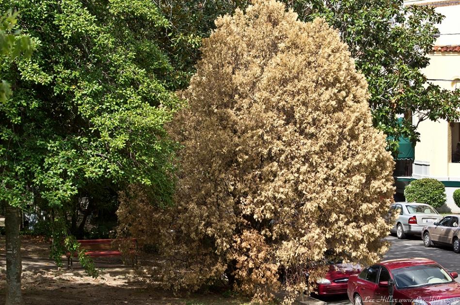 HSNP Fountain St Lawn Dead Bush from Drought