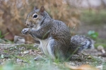 HSNP Fountain St Lawn Female Squirrel (Bob)
