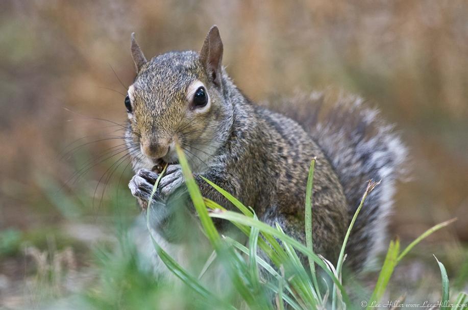 HSNP Fountain St Lawn Female Squirrel (Bob)
