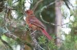 HSNP Tufa Terrace Trail Juvenile Male Cardinal Transition