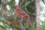 HSNP Tufa Terrace Trail Juvenile Male Cardinal Transition