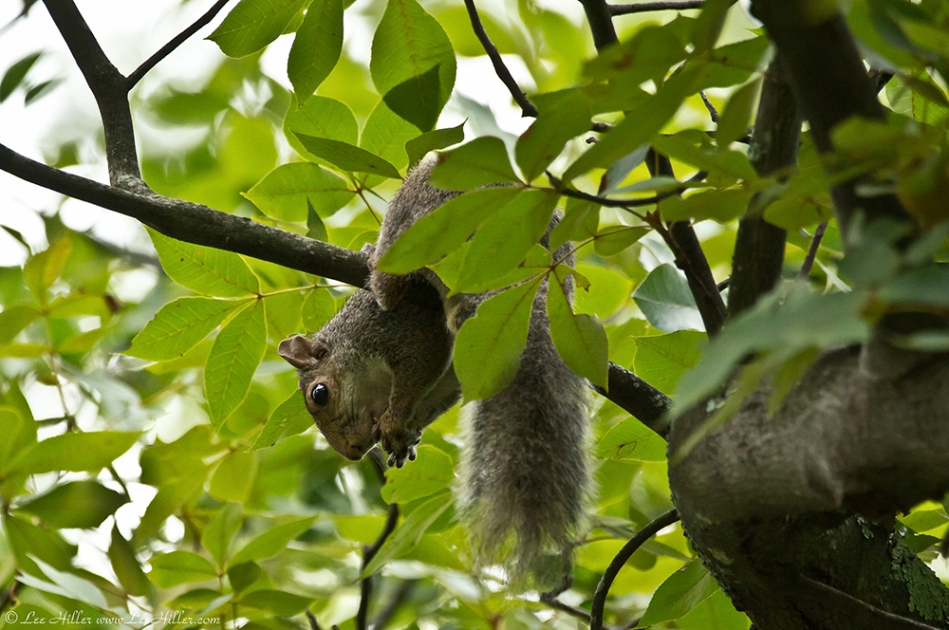 HSNP Carriage Road Baby Juvenile Squirrels