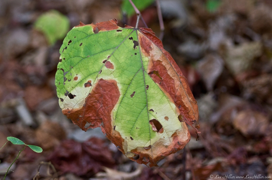 HSNP Lower Dogwood Trail Dried Leaves