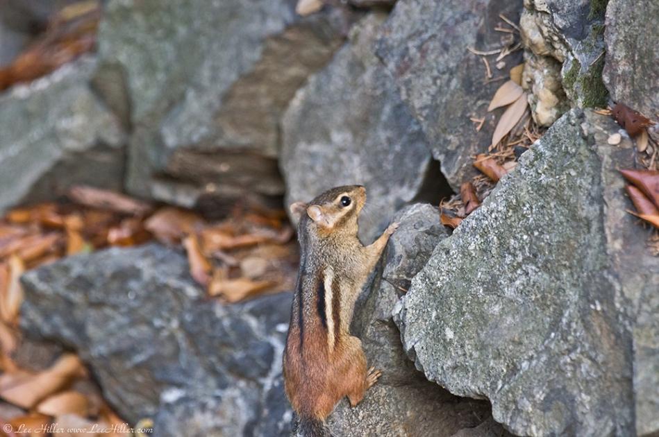 HSNP Peak Trail Chipmunk