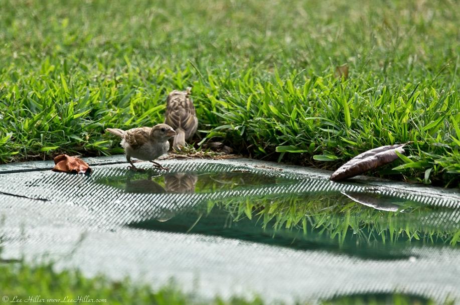 HSNP Arlington Lawn Juvenile House Sparrows