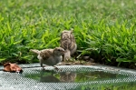 HSNP Arlington Lawn Juvenile House Sparrows