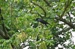 HSNP Arlington Lawn Crow