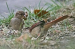 HSNP Fountain St Lawn House Sparrow w/ Female Cardinal