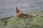 HSNP Fountain St Lawn Female Cardinal
