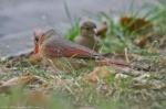 HSNP Fountain St Lawn House Sparrow w/ Female Cardinal