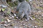 HSNP Fountain Trail Baby Squirrel