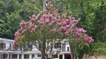 HSNP Fountain St Pink Crepe Myrtle