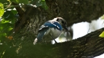 Garvan Woodland Gardens Camellia Trail Blue Jay