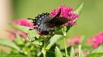Garvan Woodland Gardens Camellia Trail Eastern Tiger Butterfly
