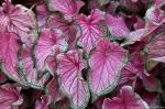 Garvan Woodland Gardens Camellia Trail Pink Caladium