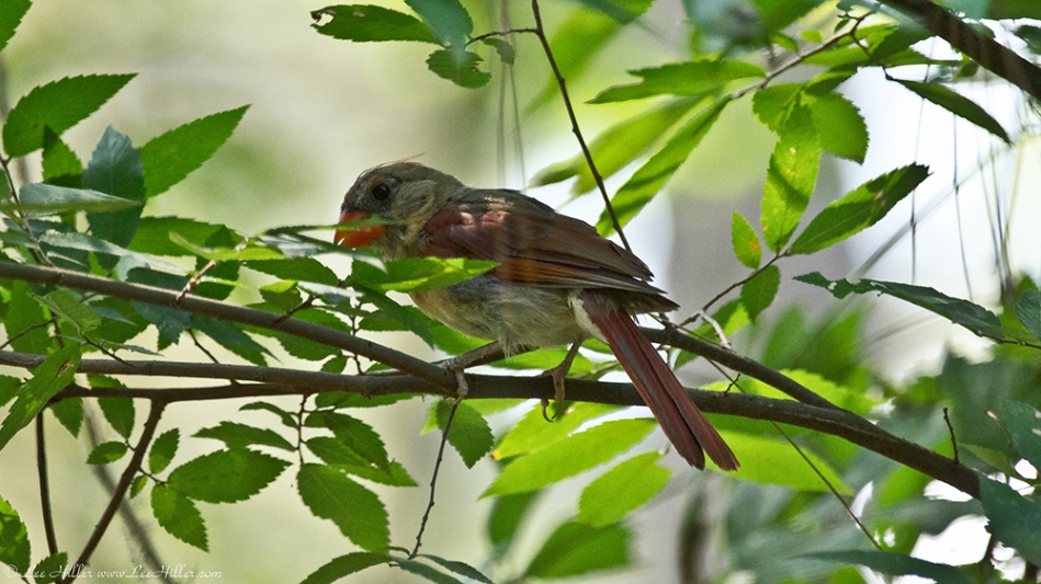 Garvan Woodland Gardens Camellia Trail Female Cardinal