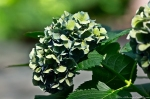 Garvan Woodland Gardens Camellia Trail Hydrangea
