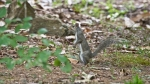 Garvan Woodland Gardens Camellia Trail Male Squirrel