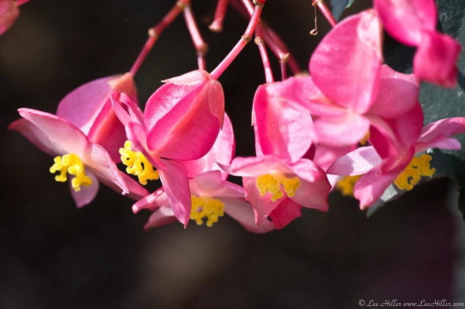 Garvan Woodland Gardens Camellia Trail Pink Flowers