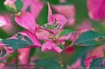 Garvan Woodland Gardens Camellia Trail Pink Leaves