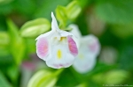 Garvan Woodland Gardens Camellia Trail Torenia Clown White