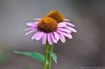 Garvan Gardens Evans Children's Adventure Garden Cone Flower