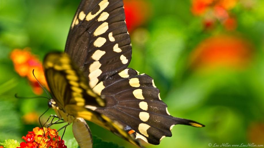 Garvan Woodland Gardens Giant Swallowtail