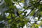 Garvan Gardens Hixson Family Woodland Nature Preserve Carolina Chickadee
