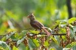 Garvan Gardens Hixson Family Woodland Nature Preserve Female Cardinal