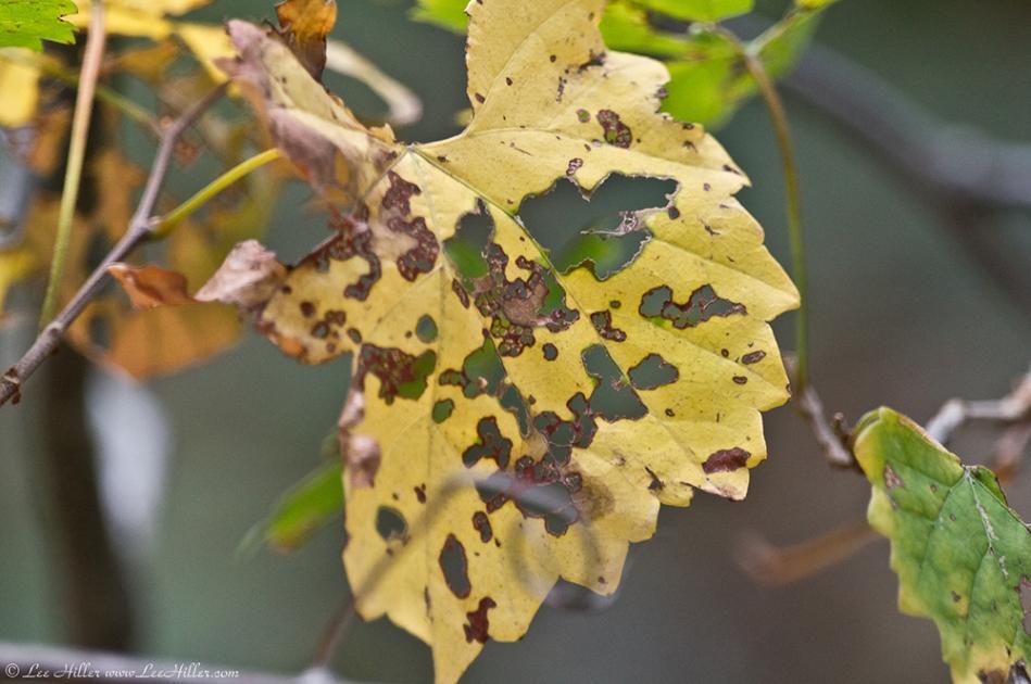 Garvan Gardens Hixson Family Woodland Nature Preserve  Leaves