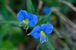 HSNP Carriage Road  Asiatic Dayflower