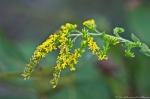 HSNP Dead Chief Trail Goldenrod