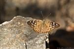 HSNP Hot Springs Mt Trail Hackberry Emperor Butterfly