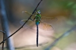 HSNP Hot Springs Mt Trail  Dragonfly