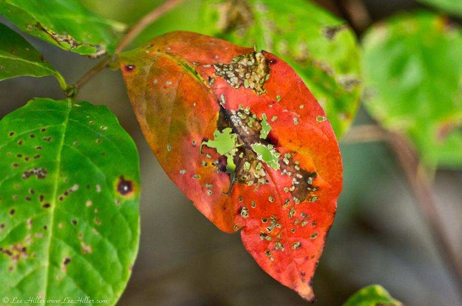 HSNP Hot Springs Mt Trail  Red Leaf