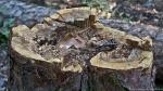 HSNP Hot Springs Mt Trail  Pine Stump