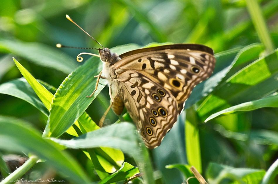 HSNP Fountain St Lawn Hackberry Emperor Butterfly