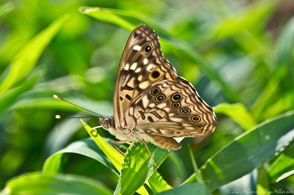 HSNP Fountain St Lawn Hackberry Emperor Butterfly