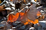 HSNP West Mountain Trail Dried Leaves